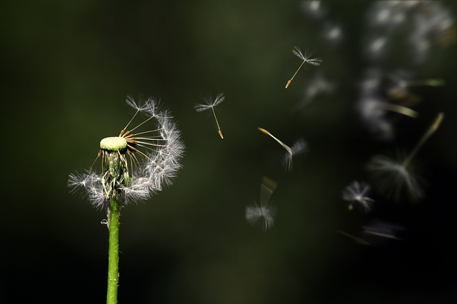 Dandelion seeds dispersing